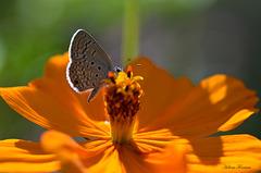 Tinny Butterfly   ღ ஐ