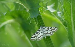 Beautiful China-mark ~ Egelskopmot (Nymphula nitidulata)...