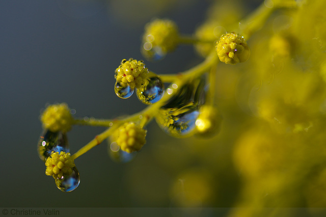 drops on mimosa buds
