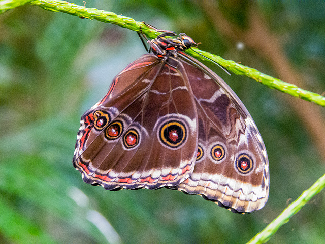 Blue morpho with wings closed