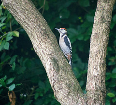 Woodpecker young