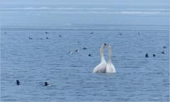 Swan dance...
