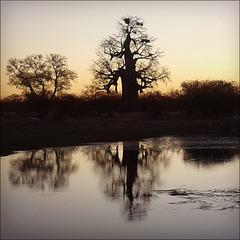 Baobab sunset:)