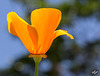Pictures for Pam, Day 178: California Poppy, A Feast for the Eyes! (+2 insets!)