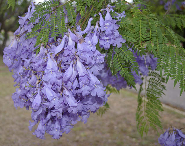 Fleurs de Jacaranda, Australie