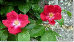 Roses de Picardie