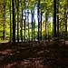 Ein Buchenwald im Spessart - A beech forest in the Spessart