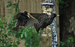 Fall out at the feeder