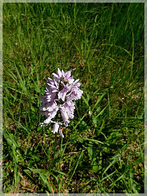 Au soleil, au détour d'un chemin en forêt de Coetquen: Orchidée sauvage