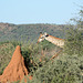 Namibia, Giraffe Head and the Dwelling of Termites in the Game Reserve of Erindi