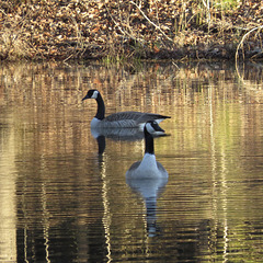 Canada geese on the pond