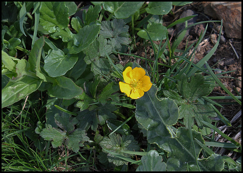 Ranunculus auricomus (1)