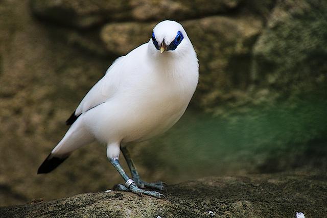 Un oiseau , qui surgit dans la nuit , court vers l'aventure en volant , son nom , il le signe à la pointe du bec , d'un Z qui veut dire ZORRO ....