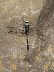 Dragonfly on a Rock With a Shadow