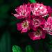 Flores adelantadas
