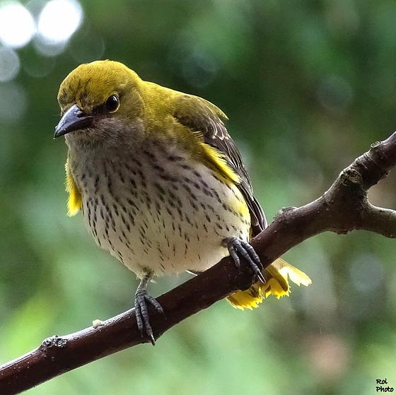 Loriot d'Europe (Oriolus oriolus - Eurasian Golden Oriole) ici une femelle ...!