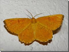 Angerona prunaria mâle