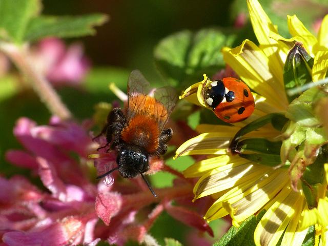 Red Bee & Ladybird