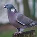 Woodpigeon.2jpg