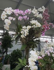 Prächtige Orchideen auf der BUGA in Erfurt
