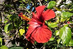 MONACO: Un Hibiscus Rose de Chine ( Hibiscus rosa-sinensis ).
