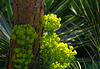 spurge, pine, yucca