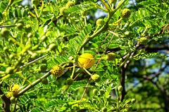 MONACO: Mimosa des quatre saisons (Acacia retinodes Schltr).