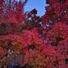 F like FALL colors (COTINUS)