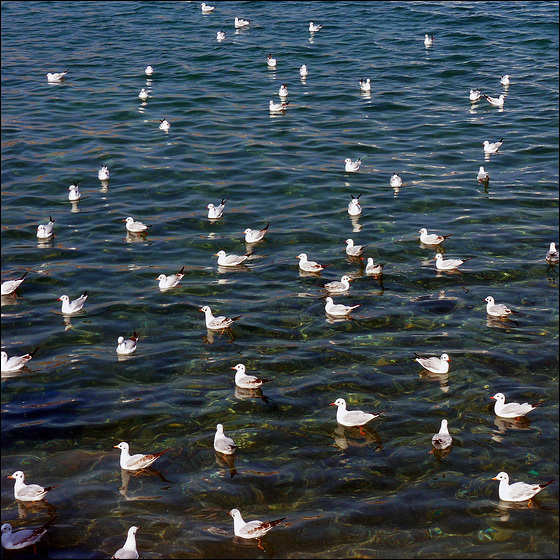 Gulls Oman (410)