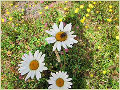 Three daisies and a Fly!