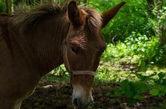 Balade à Alix (Rhône) - mule
