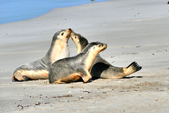 P1270557- Famille lions de mer, Seal Bay - Kangaroo Island.  11 mars 2020