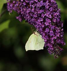 Brimstone (Gonepteryx rhamni) butterfly