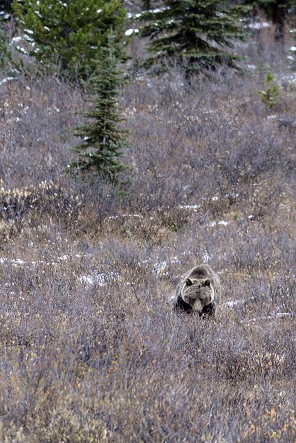 Grizzli Bear, Canada   DSC4913