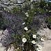 granite, lavender, cistus and the dusty path