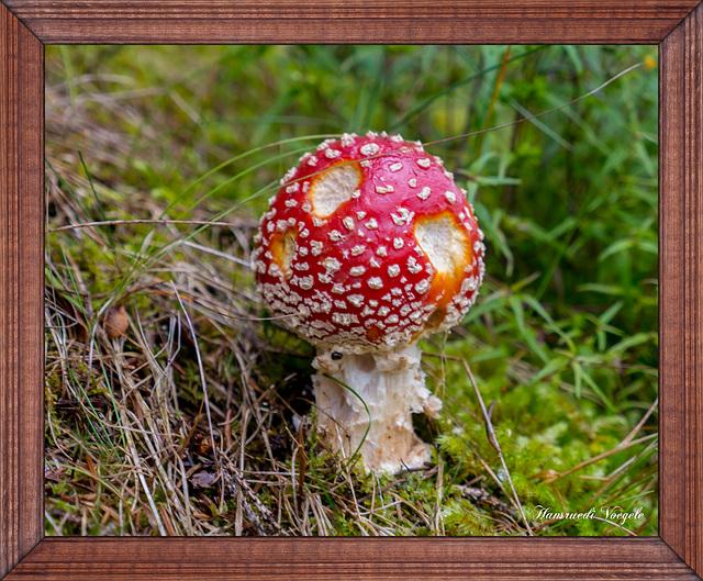 Fliegen Pilz