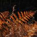 Fougère aux couleurs de l'automne