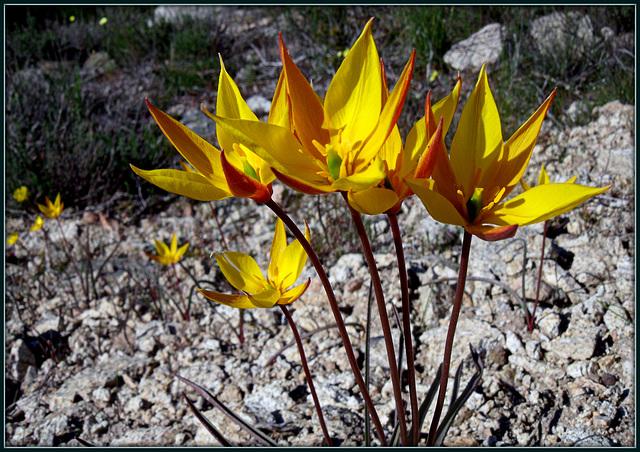 Wild tulips (having a party).  Sierra de La Cabrera, June 2013