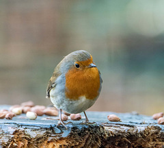 A friendly robin today.