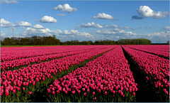 Tulipfields in The Netherlands...