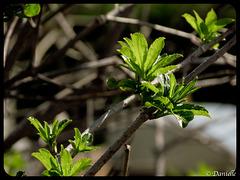 L'éclosion des feuilles….