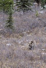 Grizzli Bear, Canada