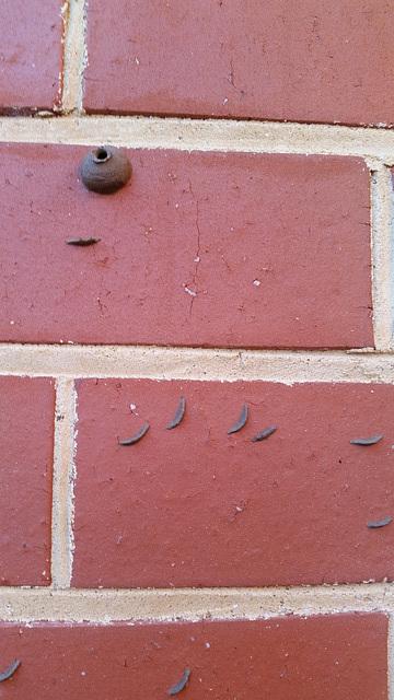 one :mud dauber wasp at work