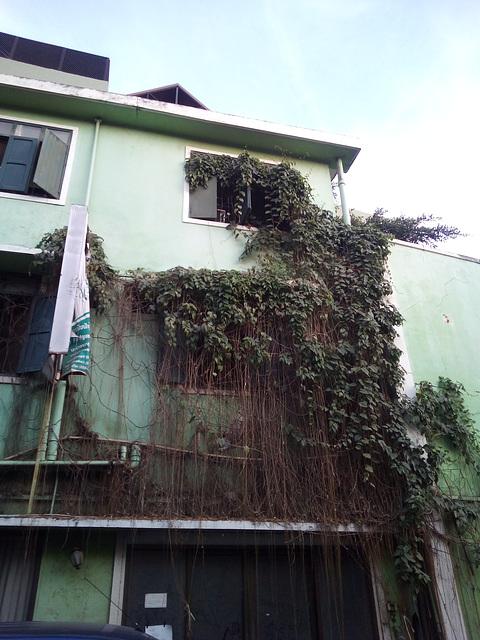 Plante contre structure à saveur laotienne