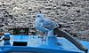 Bird on a blue boat. Polperro