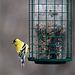 Bachelor goldfinch