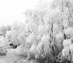 Weiße Birken in den Schwarzen Bergen
