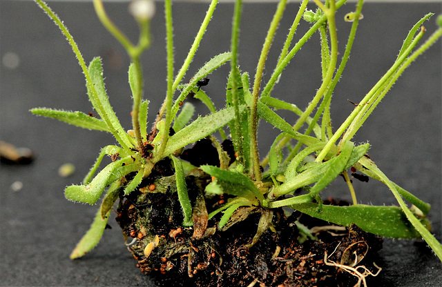 Erophila verna , drave printanière