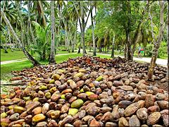 LA DIGUE, SEYCHELLES - un punto di raccolta dei cocchi prodotti dalla foresta di palme dell'isola - i cocchi vengono raccolti prima che cadano per evitare incidenti ai turisti che, tutto l'anno, percorrono le piste ciclabili a loro dedicate.