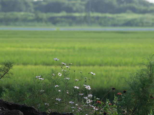 Flowers by paddy fields